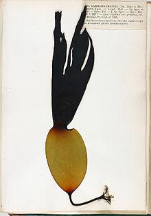 Vingerwier