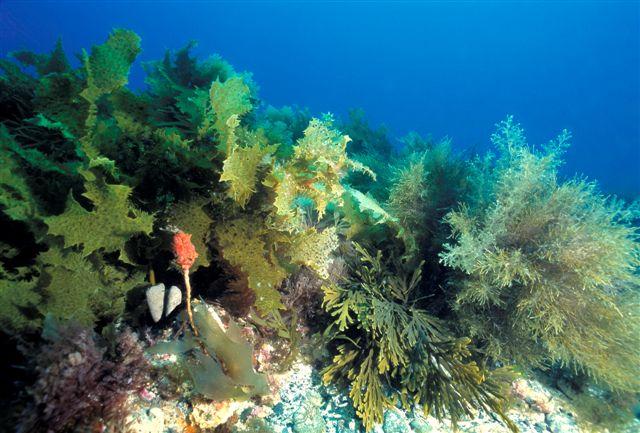 sea dragon with seaweed
