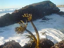 Zeepalm zeewier